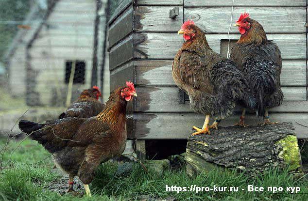 От чего дохнут куры и цыплята бройлеры: причины и их решение, обзор и видео