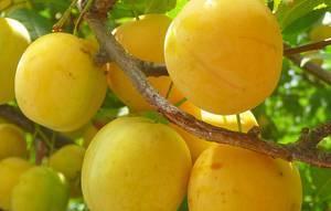 Описание сорта сливы жёлтая самоплодная: фото и отзывы