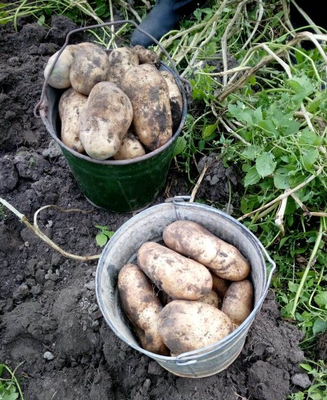 """Картофель """"сынок"""": описание сорта, фото, отзывы"""