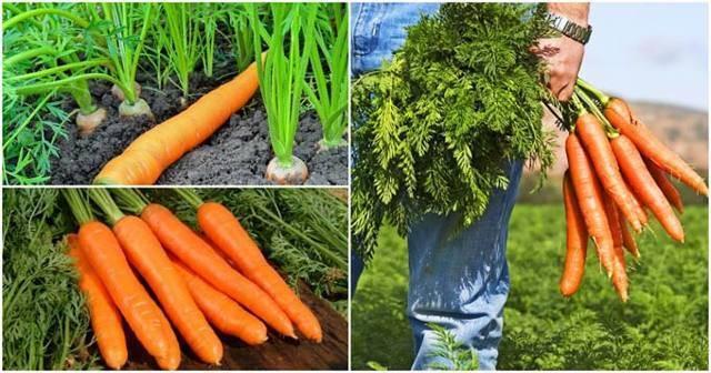 Секреты роста корнеплодов и хорошего урожая — чем подкормить морковь в открытом грунте?
