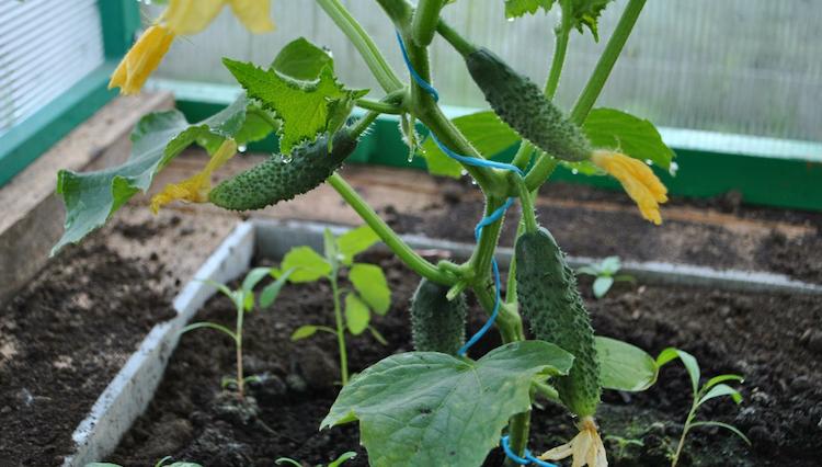 Когда сажать рассаду огурцов в открытый грунт и теплицу, фото и видео