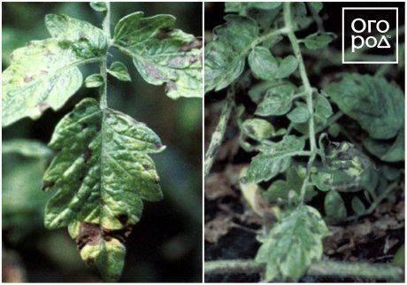 Пятна на листьях томатов: что делать, чем лечить, как предотвратить