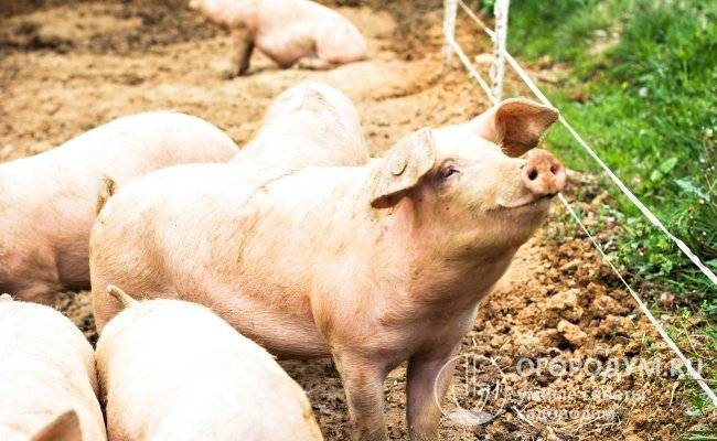 Крупная белая порода свиней – характеристики, описание, выращивание 2021