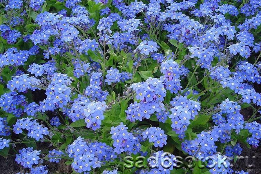 Цветы незабудки посадка и уход в открытом грунте выращивание из семян в домашних условиях фото