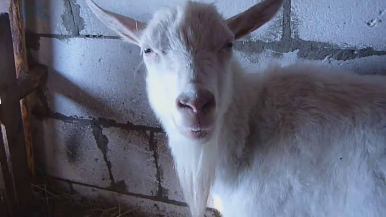 Выделения у козы: нормальные и патологические