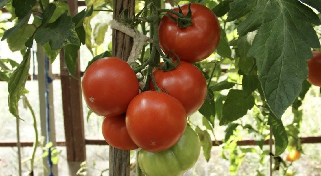 Характеристика и описание гибрида томата махитос f1, выращивание и уход