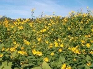 Семена топинамбура для выращивания овоща на приусадебных участках - хоз-двор