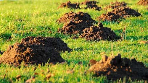 Кроты в огороде — эффективные средства для уничтожения вредителей