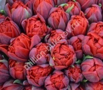 Тюльпан - фото, посадка и уход, описание цветка, выгонка дома, пересадка