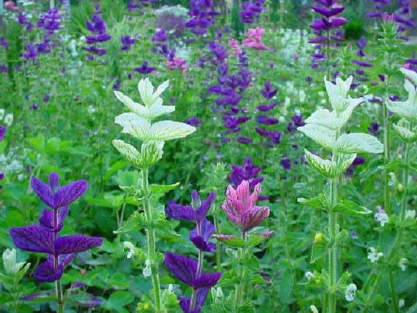 Посев и уход за блестящей сальвией: описание и фото цветов
