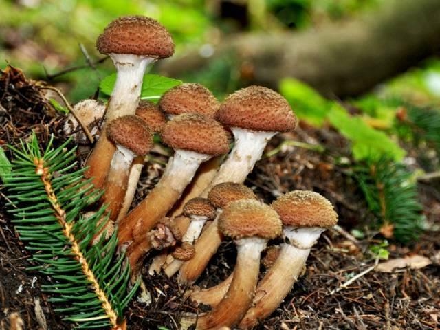Лесные опята (виды): зимний опенок — фламмулина, летний, осенний, луговой, королевский, еловый