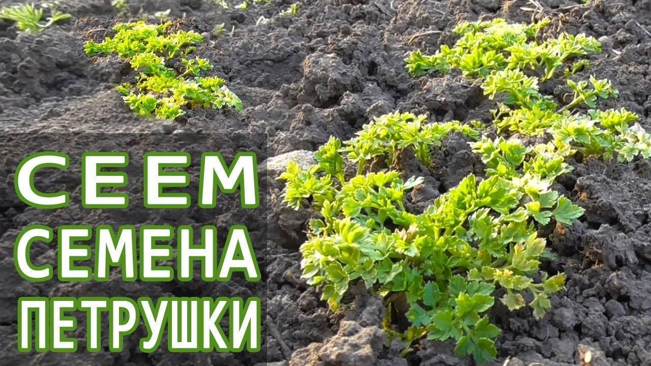 Где сажать петрушку и можно ли в дальнейшем перемещать растение на другое место, а также когда и куда на участке лучше сеять зелень – в тени или на солнце? русский фермер