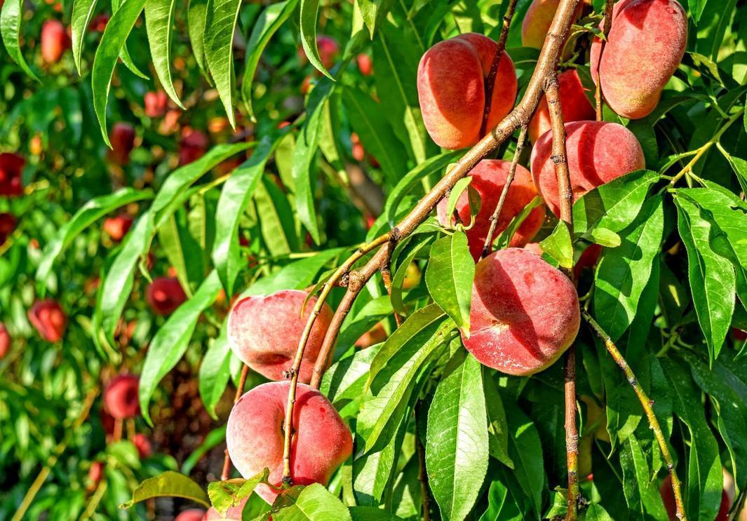 Как выращивать персик из косточки в домашних условиях – дачные дела