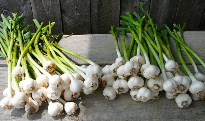 Чем подкормить чеснок весной при посадке и осенью, отзывы