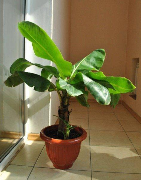 Растение банановое дерево азимина: фото плодов и листьев, выращивание и уход за азиминой