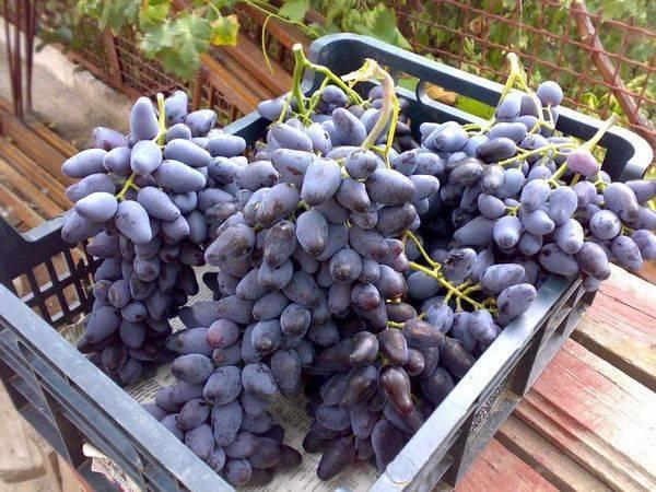 Сорт винограда оригинал: описание, фото