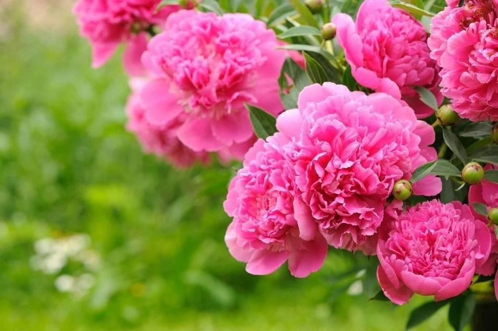 Все о подкормке пионов: чем удобрять до и во время бутонизации для обильного цветения