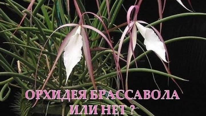 Орхидея брассавола — selok.info
