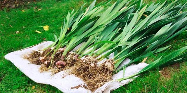 Как и когда убирают луковицы гладиолусы осенью и как их хранить - пошаговая инструкция
