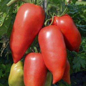 Сорт томата корнабель (f1): фото, отзывы, описание, характеристики.