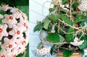 Удивительная хойя вайети — что это за растение и как оно выглядит на фото?