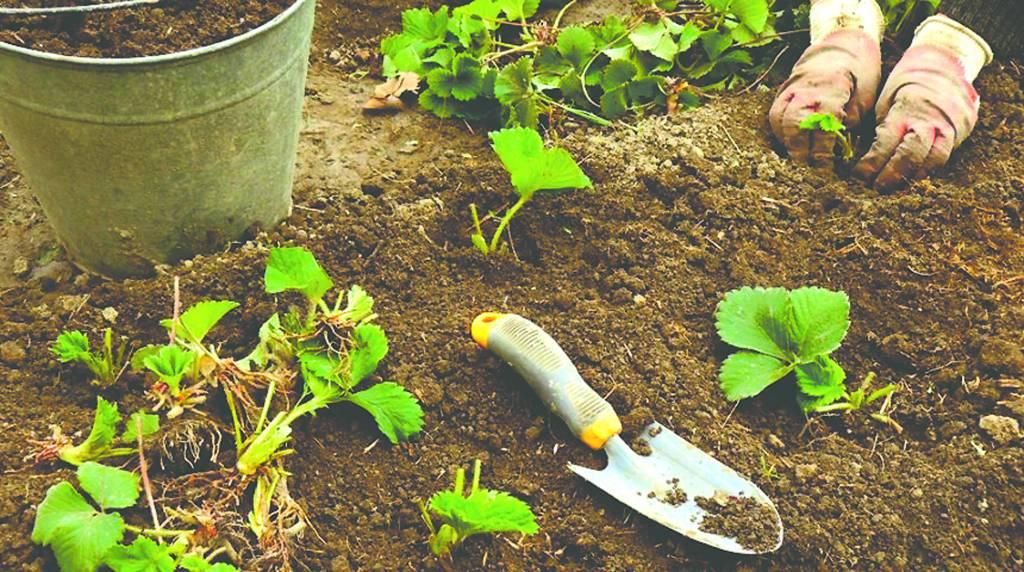 Чем подкормить клубнику весной для хорошего урожая народные средства фото видео