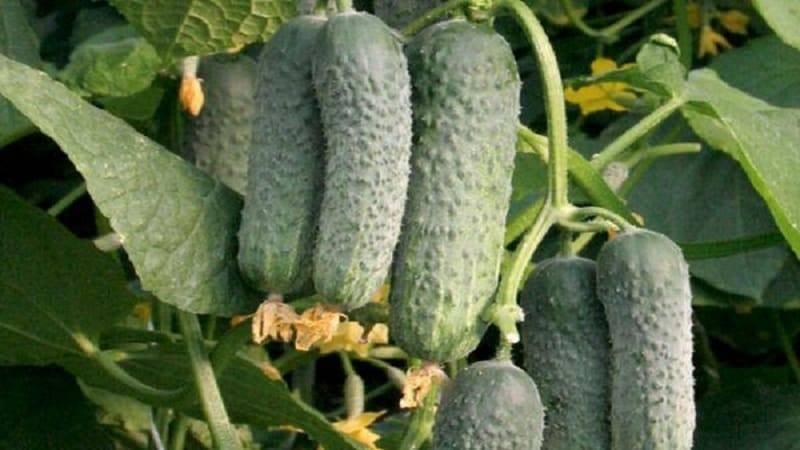 Огурцы мамлюк: описание сорта, технология выращивания, фото