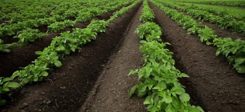 Голландская технология выращивания картофеля: способ посадки на даче, как садят по этому методу, техника как вырастить картошку
