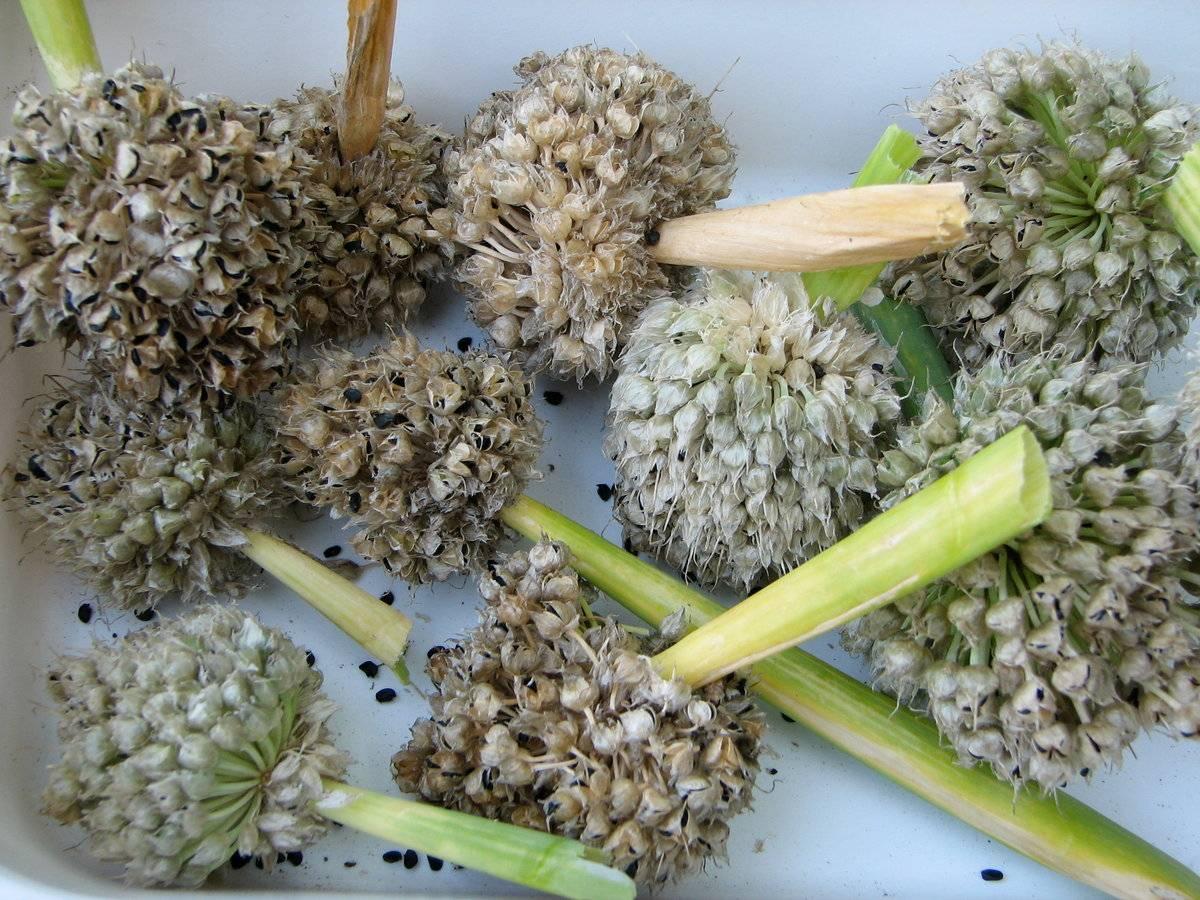 Лук из семян чернушки: что это такое, как получить и собрать, фото озимого сорта, советы по посадке и уходу