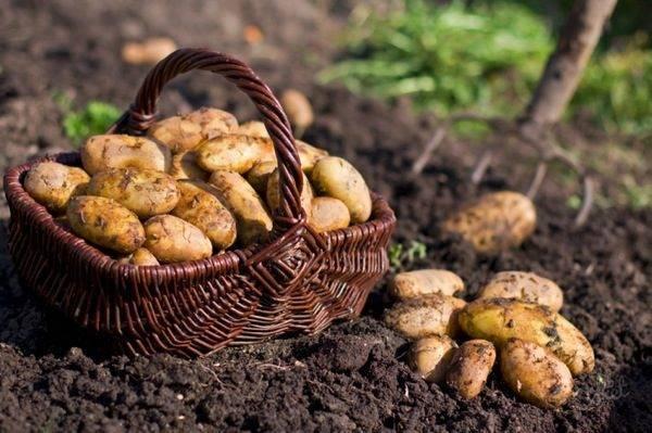 Урожайность картофеля и как ее повысить — советы опытных огородников