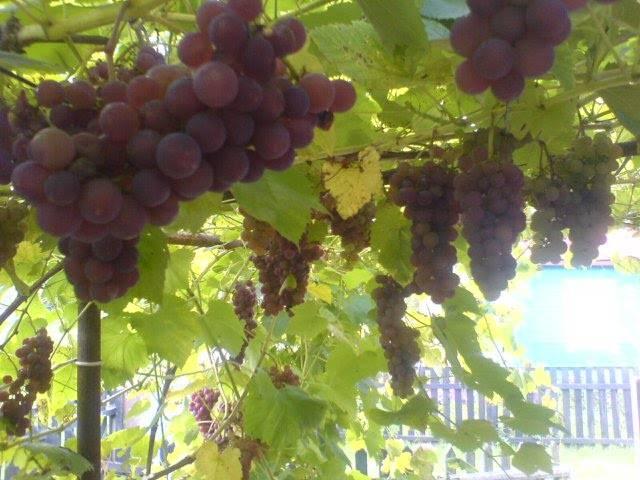 Сорта винограда для выращивания в беларуси - сад