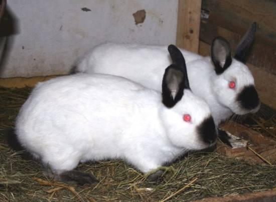 Кролики калифорнийской породы: описание, разведение, содержание
