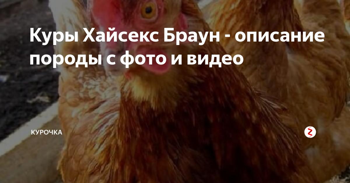 Куры породы хайсек: характеристика породы, особенности содержания несушек, петухов и цыплят