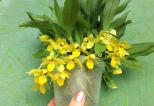 Сорта орхидей: ликаста, лелия, липарис, променея - уход в домашних условиях