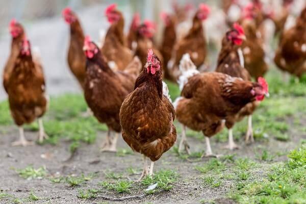 несушки породы хайсекс способны удивить количеством яиц