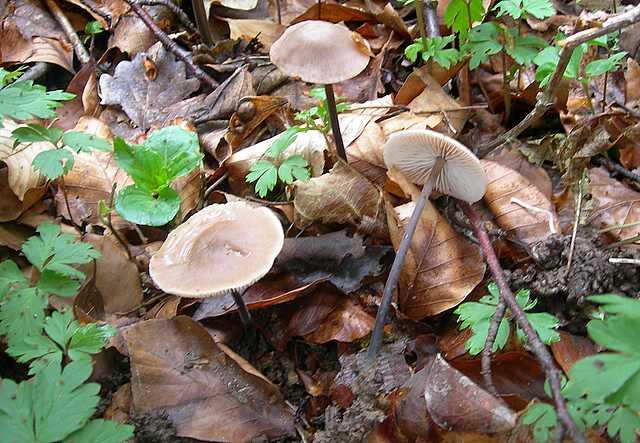 Гриб чесночник обыкновенный (чесночный гриб, mycetinis scorodonius): как выглядят грибы, где и как растут, съедобны или нет