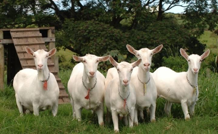 Альпийские козы — фото и описание, характеристика, условия содержания, перспективы разведения. | cельхозпортал