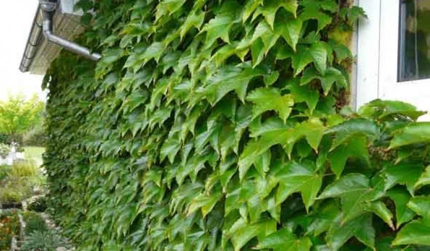 Девичий виноград: посадка и уход в открытом грунте, размножение сорта, выращивание и сочетание в ландшафтном дизайне + фото