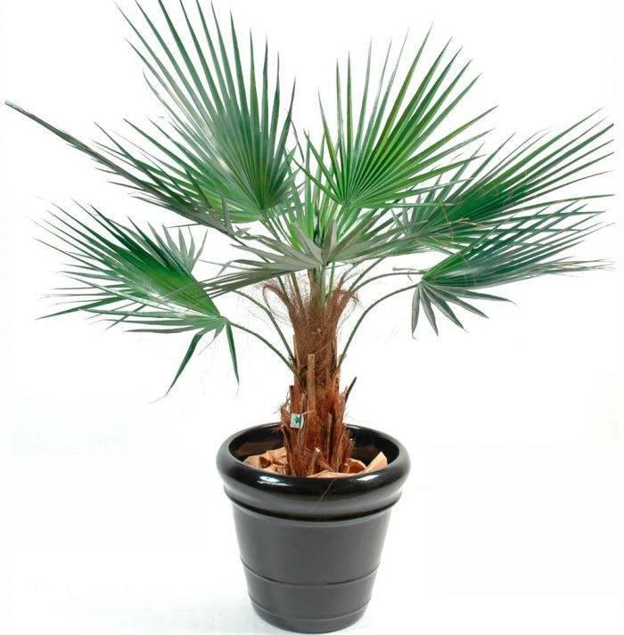 Вашингтония - домашняя пальма - уход в домашних условиях, выращивание из семян, описание