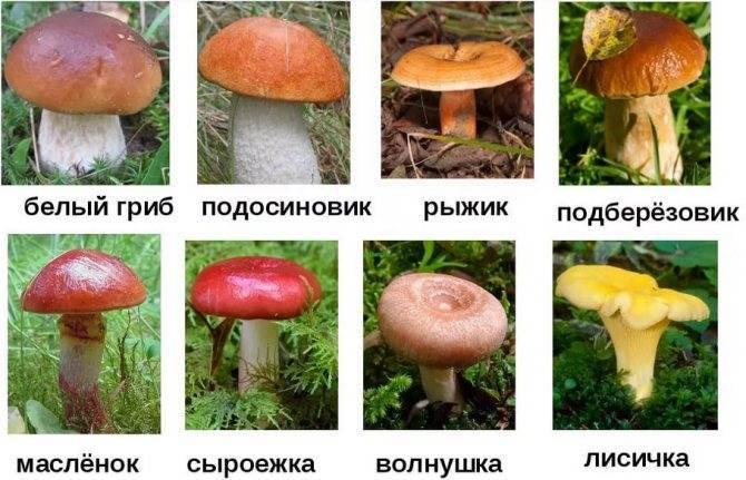 Грибы хабаровского края
