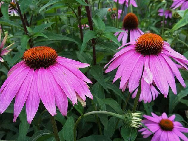 Цветок эхинацея – домашнее выращивание, возможные болезни, как сушить, использование в ландшафте