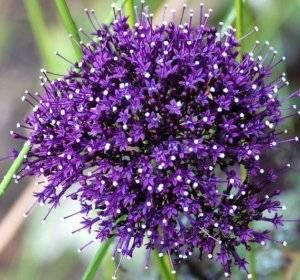 Долихос: посадка и уход в открытом грунте, выращивание из семян