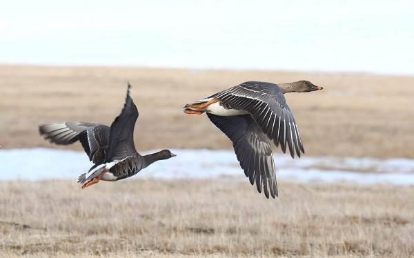 Гуменник гусь птица. образ жизни и среда обитания гуся гуменника