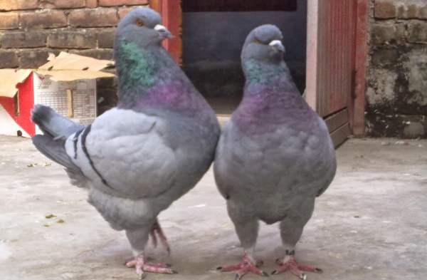 Разведение и содержание голубей в домашних условиях для начинающих