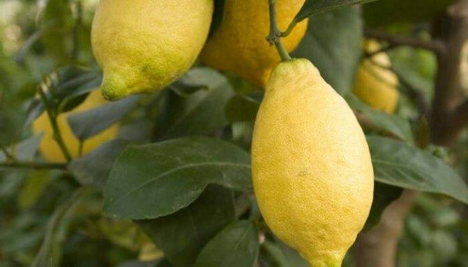 Выращивание лимона лунарио