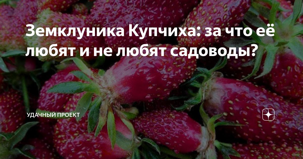 Клубника купчиха — урожайный гибрид от российских селекционеров