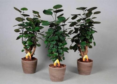 Цветок полисциас в домашних условиях: фото и виды, уход за комнатным цветком