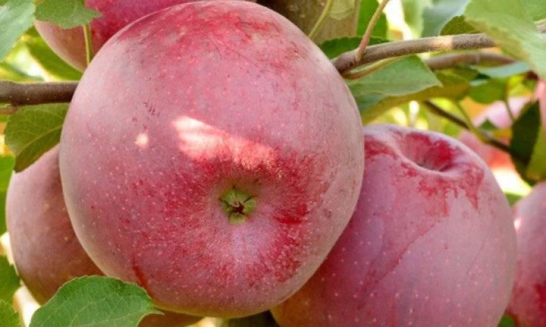 Яблоня флорина: описание сорта, фото, отзывы, посадка, цена, где растут, опылитель