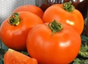Томат багира: описание, выращивание, уход, фото