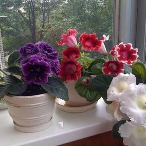 Уход за глоксинией в домашних условиях: описание, выращивание и размножение, борьба с вредителями и болезнями